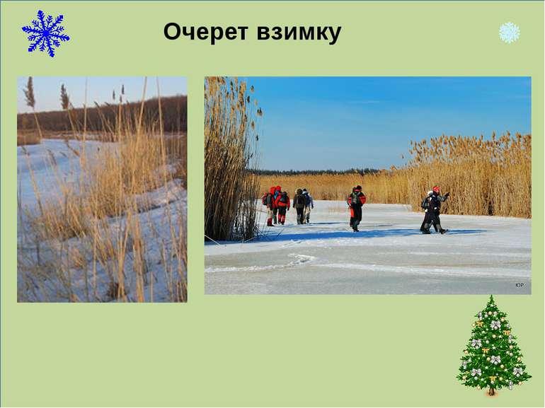 Очерет взимку