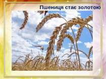 Пшениця стає золотою