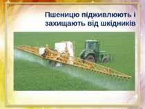 Пшеницю підживлюють і захищають від шкідників