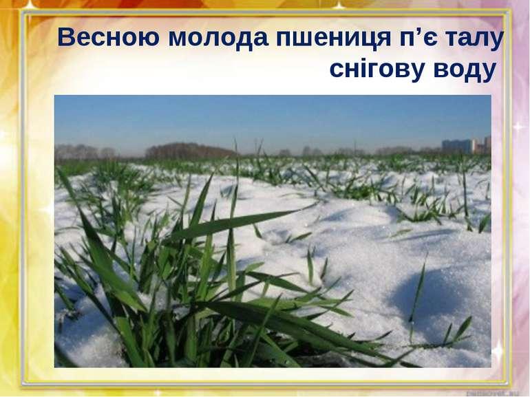 Весною молода пшениця п'є талу снігову воду
