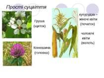 Прості суцвіття Груша (щиток) Конюшина (головка) кукурудза – жіночі квіти (по...
