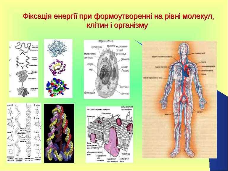 Фіксація енергії при формоутворенні на рівні молекул, клітин і організму