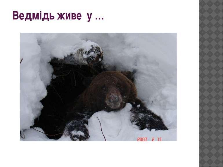 Ведмідь живе у …