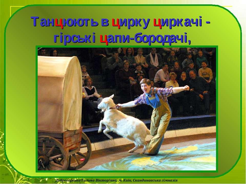ца Танцюють в цирку циркачі - гірські цапи-бородачі,
