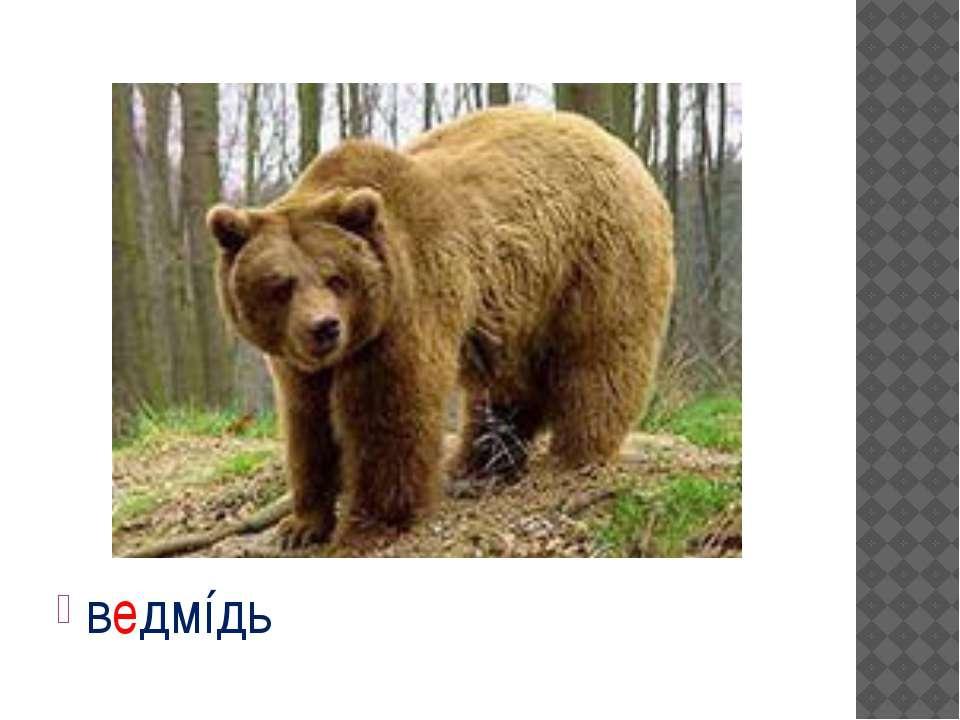 ведмíдь
