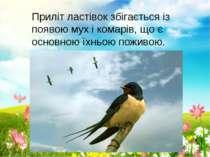 Приліт ластівок збігається із появою мух і комарів, що є основною їхньою пожи...
