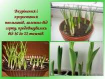 Вкорінення і проростання тюльпанів, залежно від сорту, продовжувалось від 16 ...