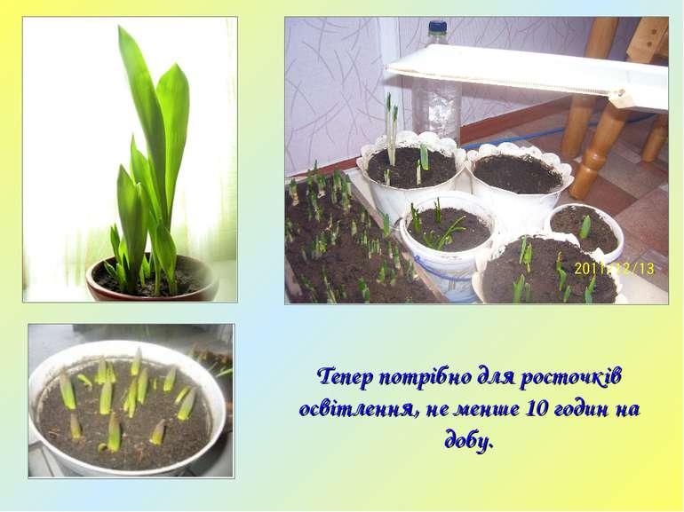 Тепер потрібно для росточків освітлення, не менше 10 годин на добу.