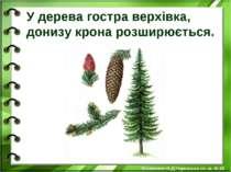 У дерева гостра верхівка, донизу крона розширюється. Білоножко Н.Д.Черкаська ...