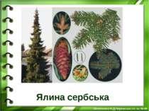 Ялина сербська Білоножко Н.Д.Черкаська сп. ш. №18