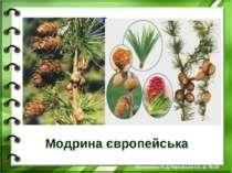 Модрина європейська Білоножко Н.Д.Черкаська сп. ш. №18