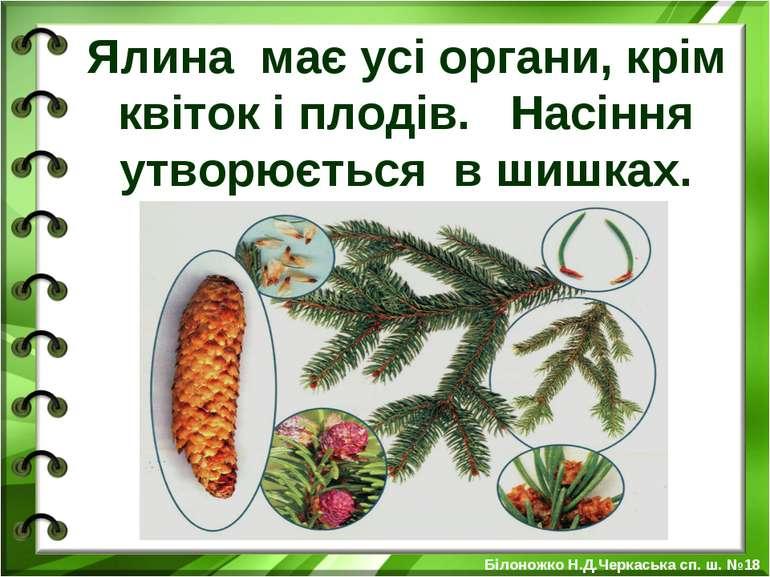 Ялина має усі органи, крім квіток і плодів. Насіння утворюється в шишках. Біл...