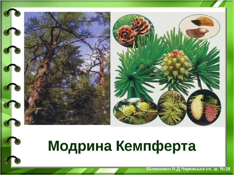 Модрина Кемпферта Білоножко Н.Д.Черкаська сп. ш. №18