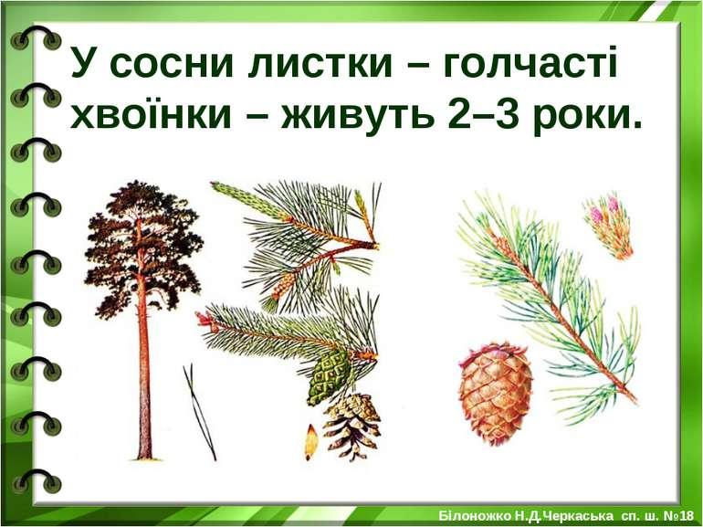 У сосни листки – голчасті хвоїнки – живуть 2–3 роки. Білоножко Н.Д.Черкаська ...