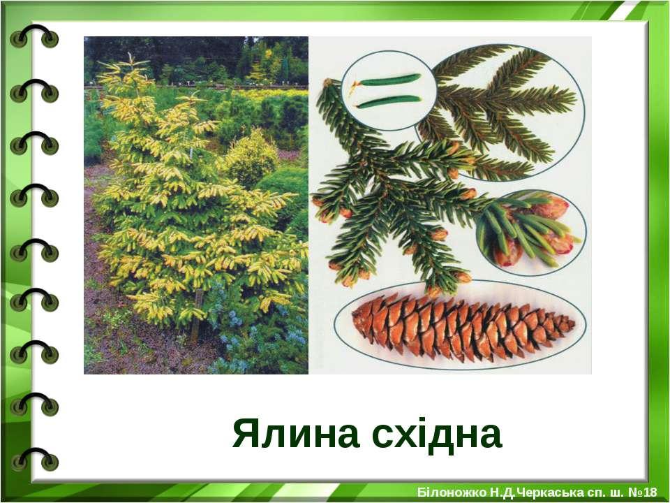 Ялина східна Білоножко Н.Д.Черкаська сп. ш. №18