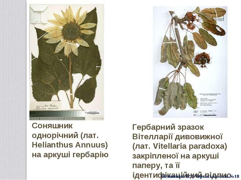 Соняшник однорічний (лат. Helianthus Annuus) на аркуші гербарію Гербарний зра...