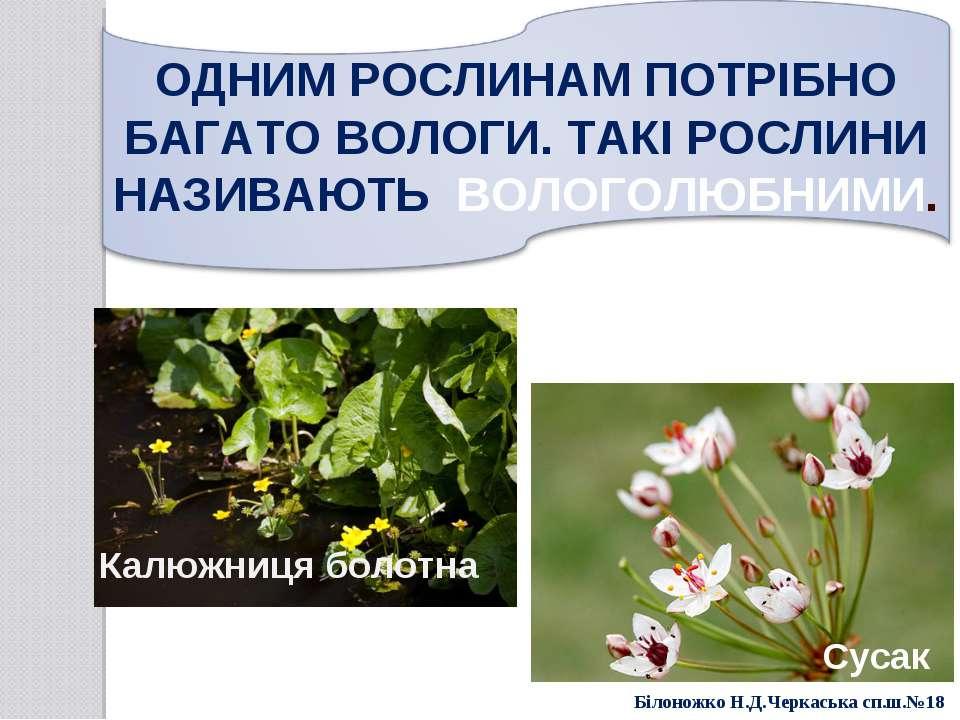 . Калюжниця болотна Сусак Білоножко Н.Д.Черкаська сп.ш.№18