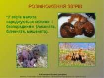 У звірів малята народжуються сліпими і безпорадними (лисенята, білченята, миш...