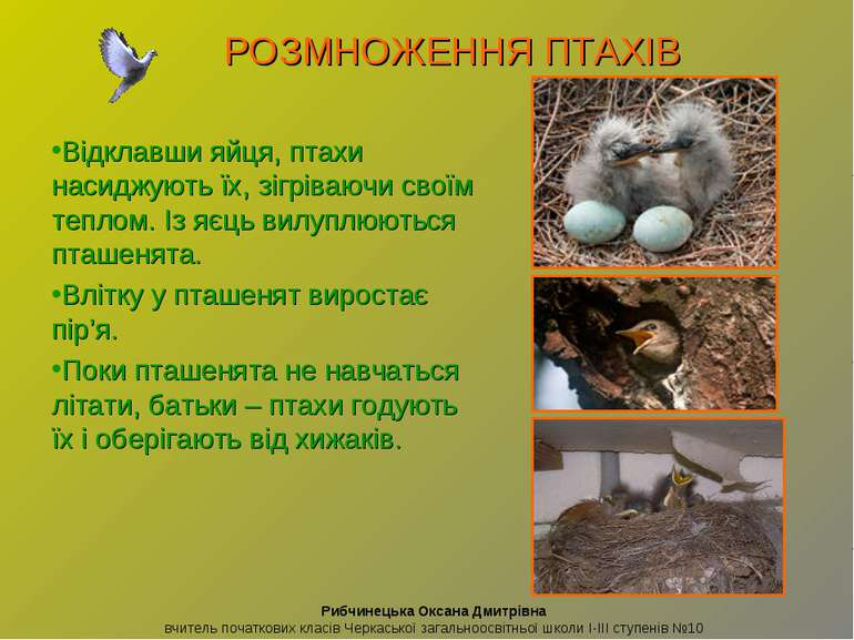 Відклавши яйця, птахи насиджують їх, зігріваючи своїм теплом. Із яєць вилуплю...