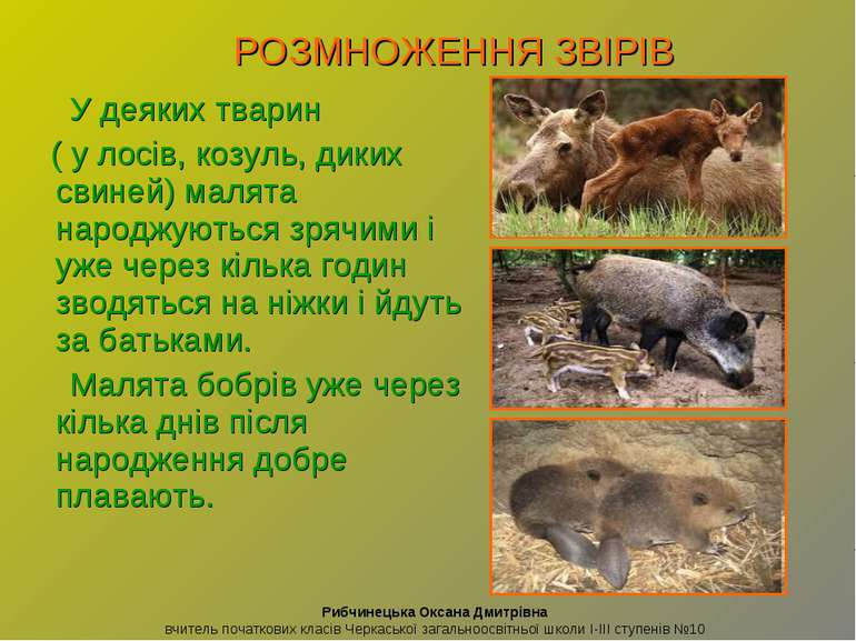 У деяких тварин ( у лосів, козуль, диких свиней) малята народжуються зрячими ...