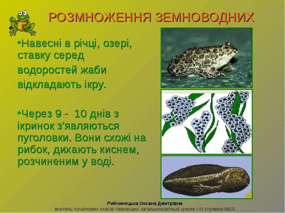 Навесні в річці, озері, ставку серед водоростей жаби відкладають ікру. Через ...