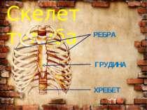 Скелет тулуба РЕБРА ГРУДИНА ХРЕБЕТ
