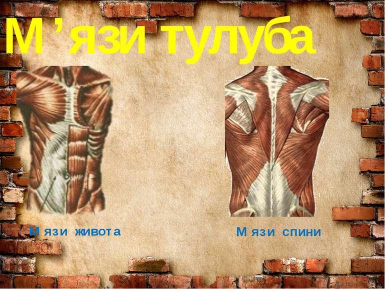 М'язи тулуба М'язи живота М'язи спини