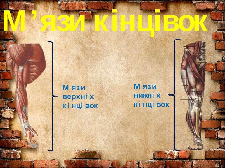 М'язи кінцівок М'язи верхніх кінцівок М'язи нижніх кінцівок