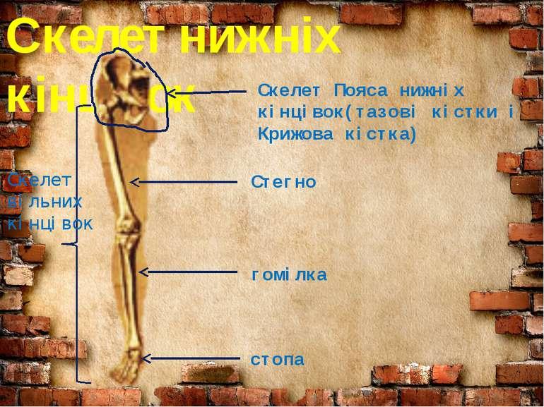 Скелет нижніх кінцівок Скелет Пояса нижніх кінцівок(тазові кістки і Крижова к...