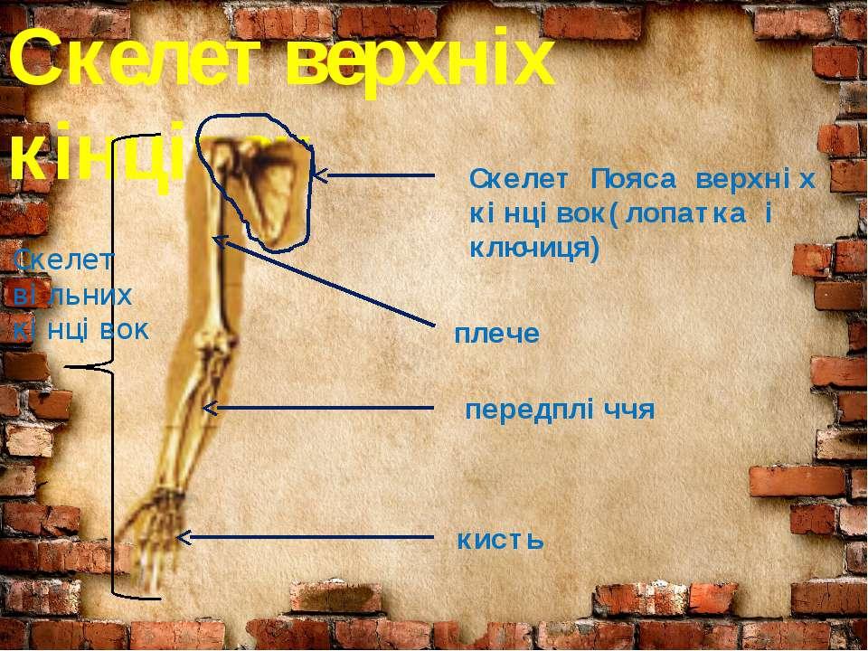 Скелет верхніх кінцівок Скелет Пояса верхніх кінцівок(лопатка і ключиця) Скел...