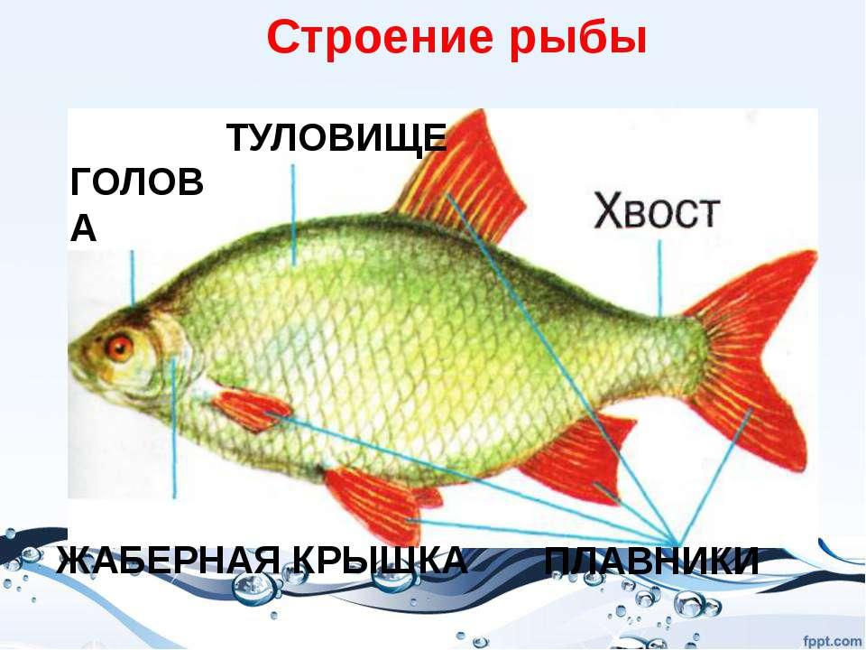 Вместо конечностей у рыб – плавники Плавники и хвост помогают рыбам плавать. ...