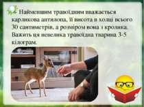 Найменшим травоїдним вважається карликова антилопа, її висота в холці всього ...