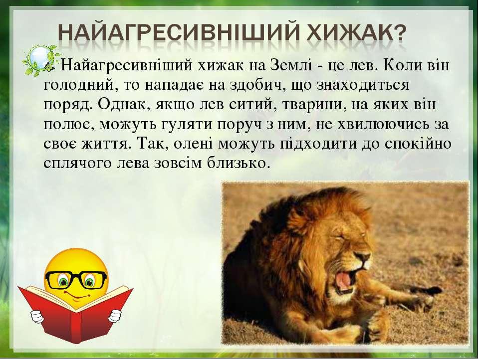 Найагресивніший хижак на Землі - це лев. Коли він голодний, то нападає на здо...