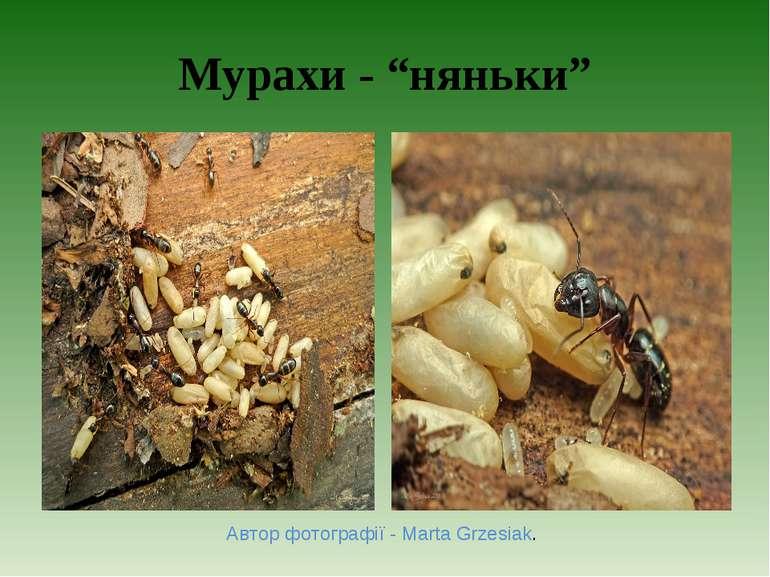 """Мурахи - """"няньки"""" Автор фотографії - Marta Grzesiak."""