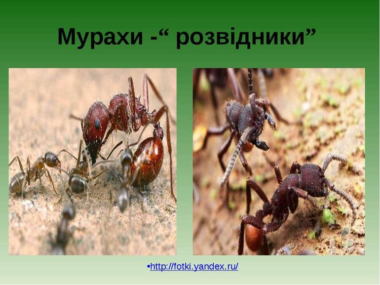 """Мурахи -"""" розвідники"""" http://fotki.yandex.ru/"""
