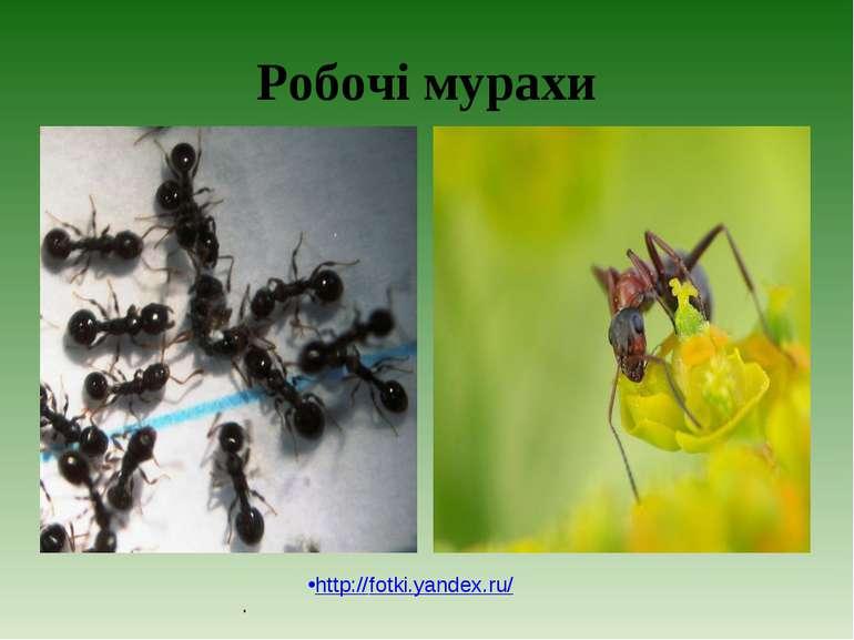 Робочі мурахи . http://fotki.yandex.ru/