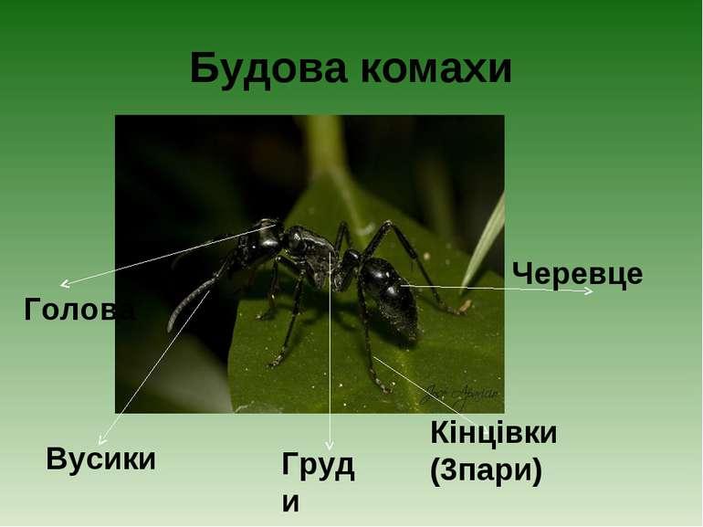 Будова комахи Вусики Голова Груди Кінцівки (3пари) Черевце