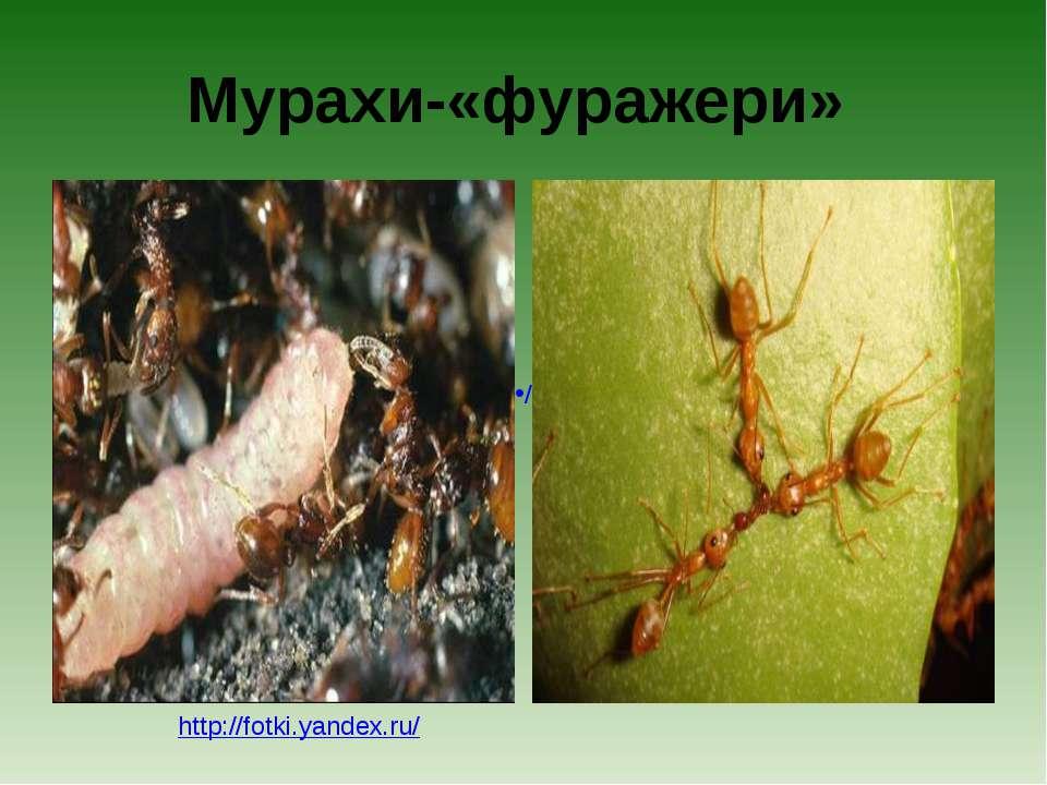 Мурахи-«фуражери» http://fotki.yandex.ru/ /