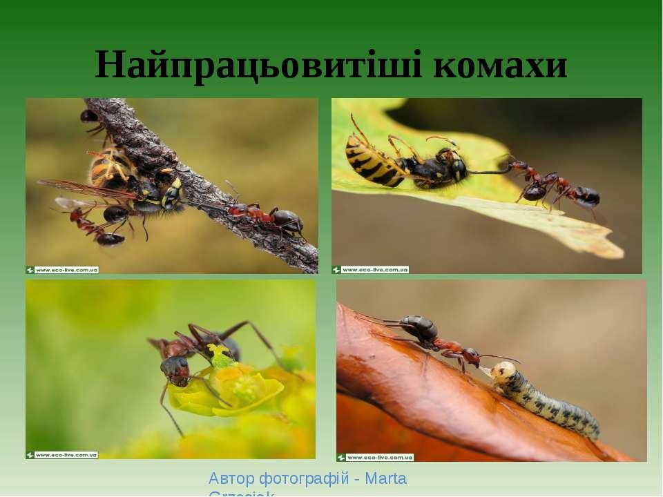 Найпрацьовитіші комахи Автор фотографій - Marta Grzesiak.