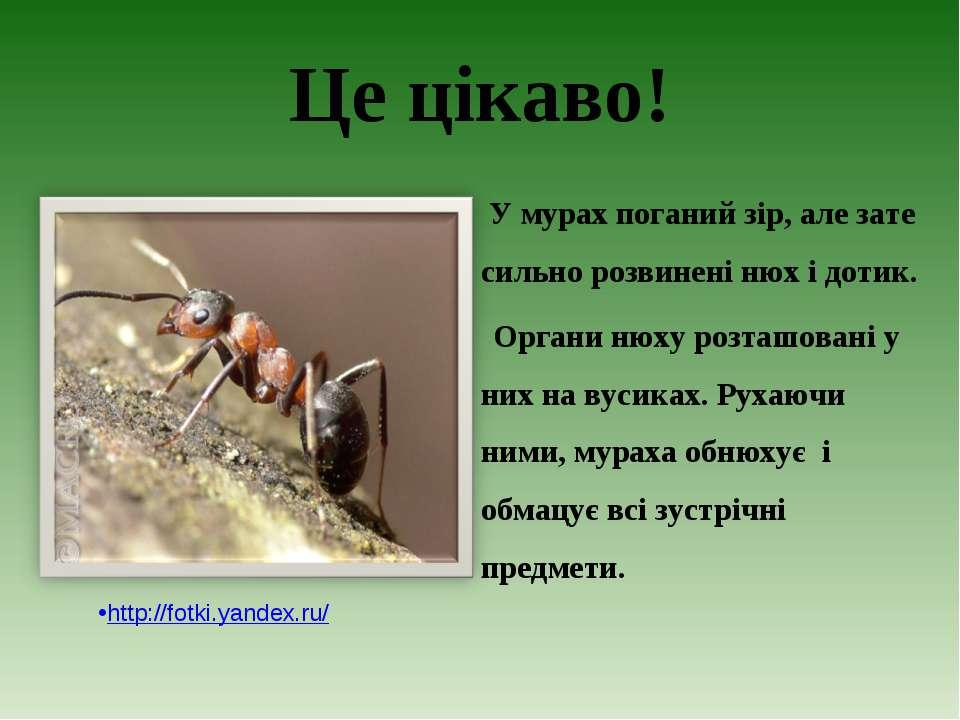 Це цікаво! У мурах поганий зір, але зате сильно розвинені нюх і дотик. Органи...