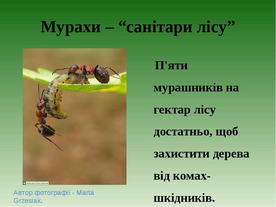"""Мурахи – """"санітари лісу"""" Автор фотографії - Marta Grzesiak. П'яти мурашників ..."""