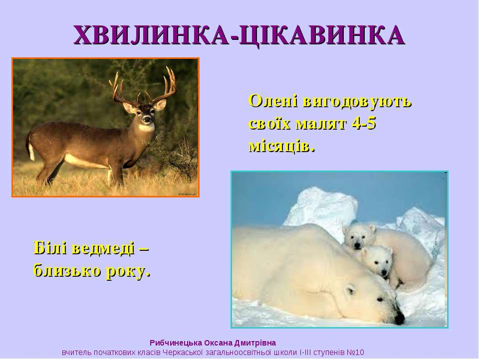 ХВИЛИНКА-ЦІКАВИНКА Олені вигодовують своїх малят 4-5 місяців. Білі ведмеді – ...