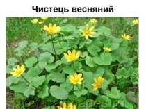 Чистець весняний