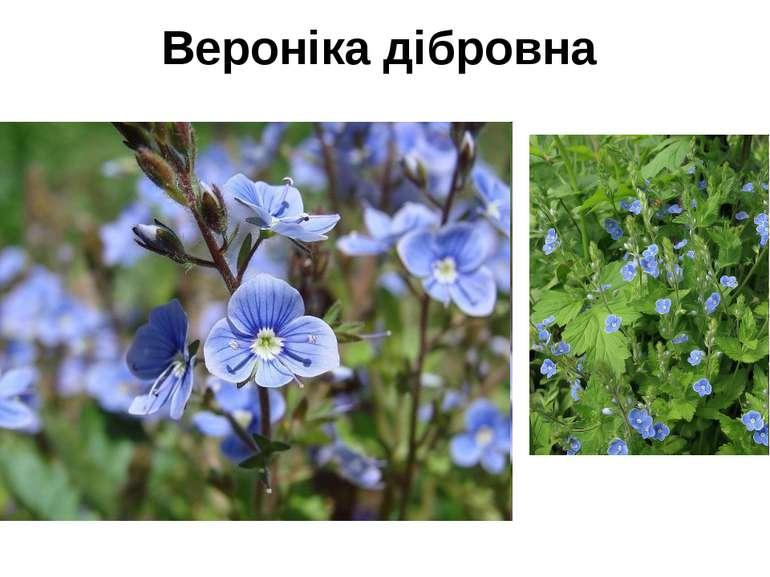 Вероніка дібровна