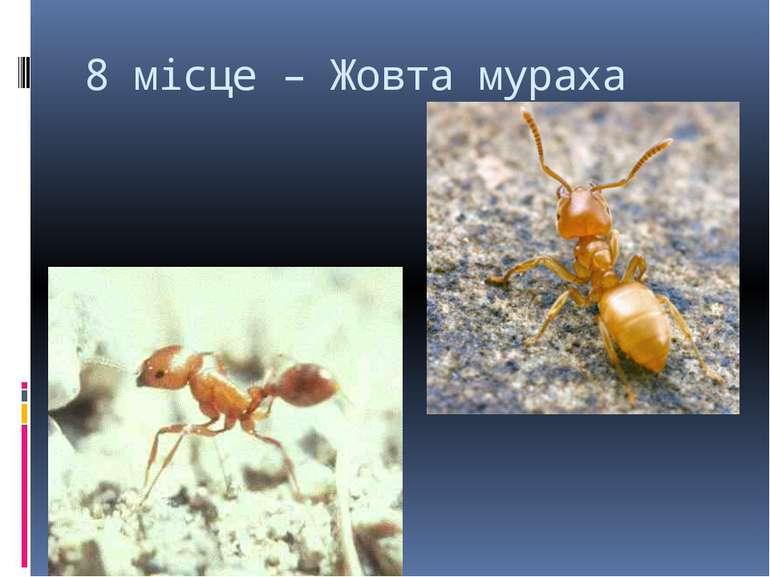 8 місце – Жовта мураха