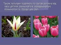 Також тюльпани поділяють по групах залежно від часу цвітіння: ранньоквітучі, ...