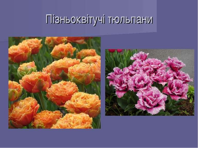 Пізньоквітучі тюльпани