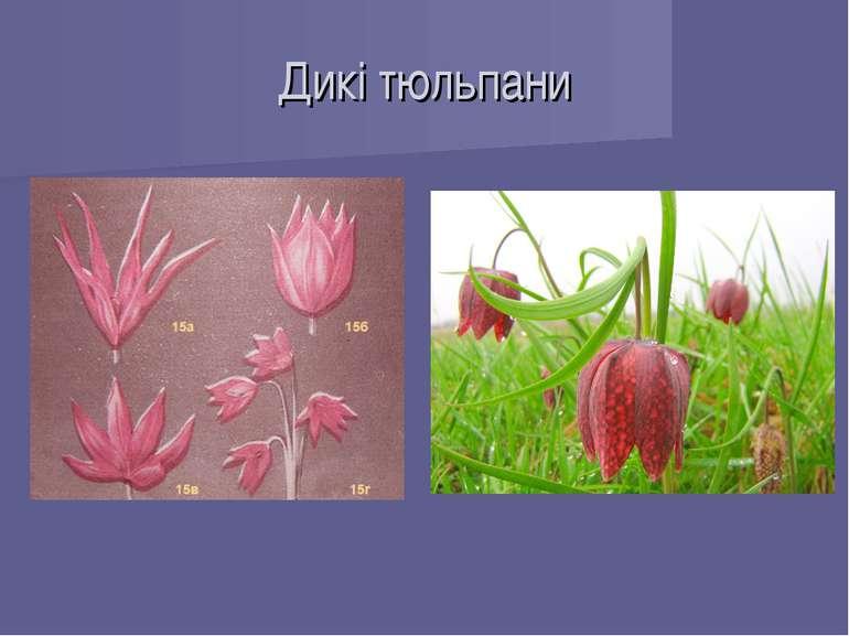Дикі тюльпани