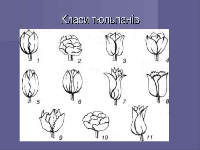 Класи тюльпанів