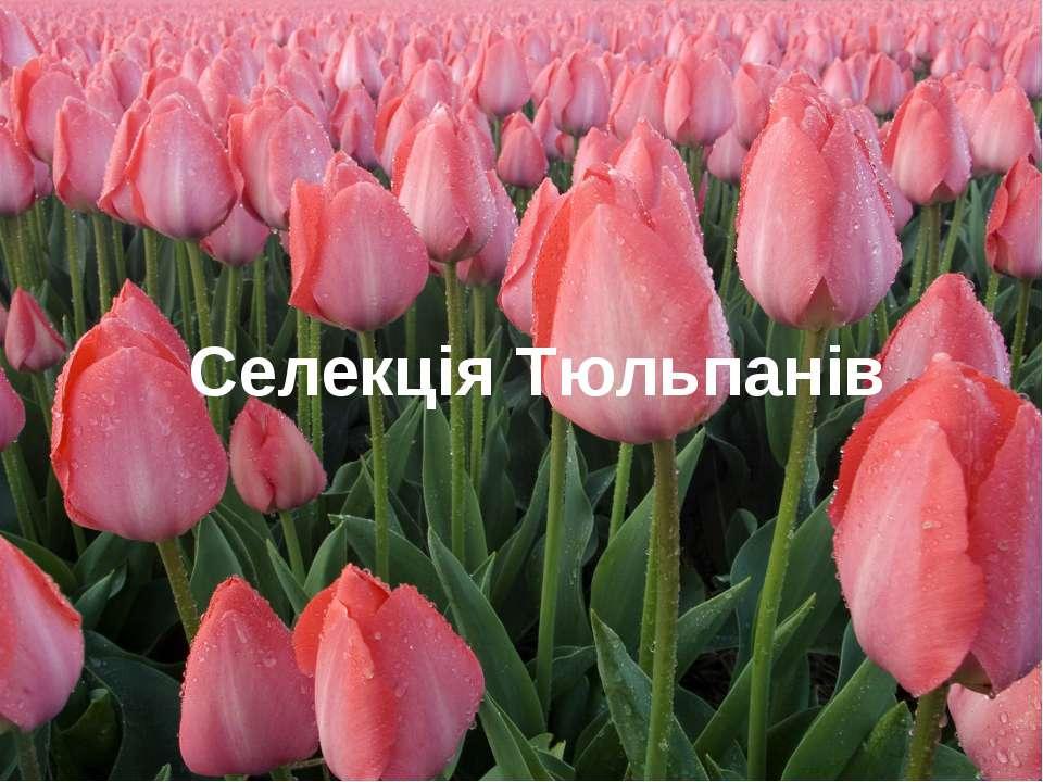 Селекція Тюльпанів